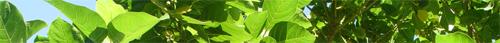 folhas de ficus